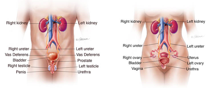 Urinary Tracts